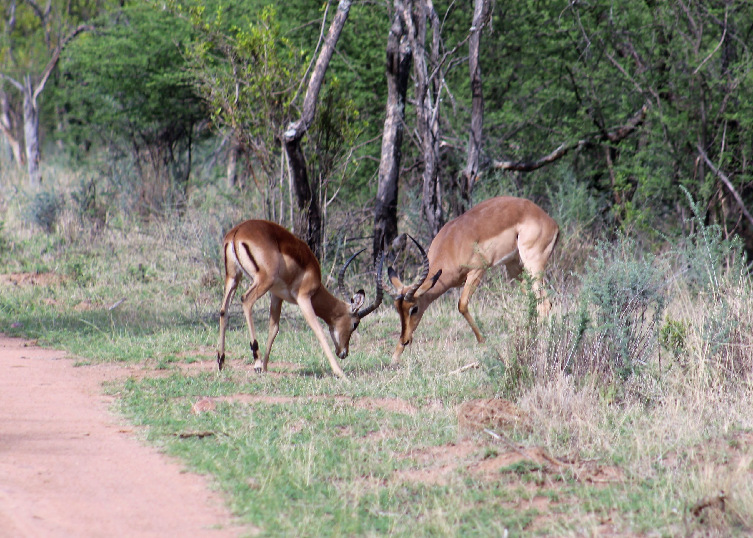 Impalas on our game drive in South Africa