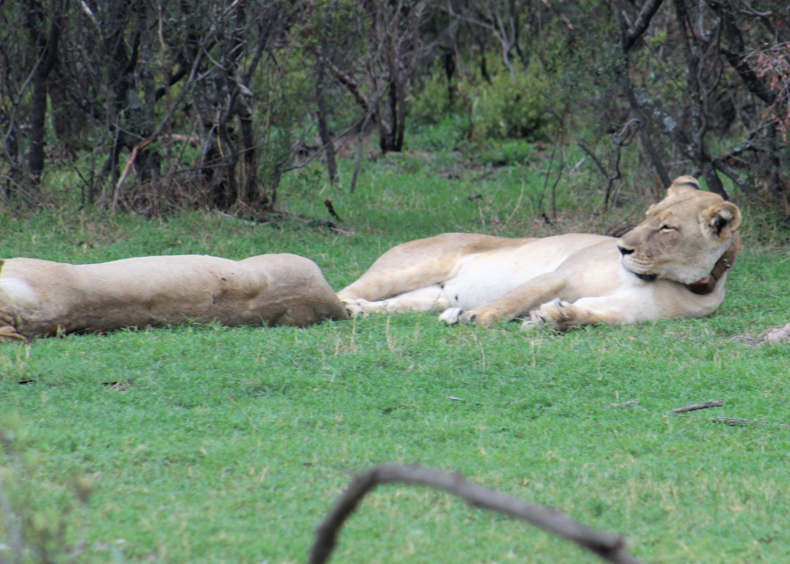 Lions on our game drive in South Africa