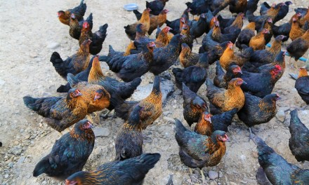 Backyard Chicken: Keeping Your Chickens Cool