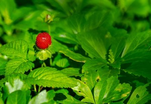 Natural Remedy- Stawberry Leaves