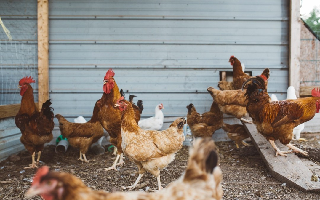 Be Wary Of These Four Chicken Diseases