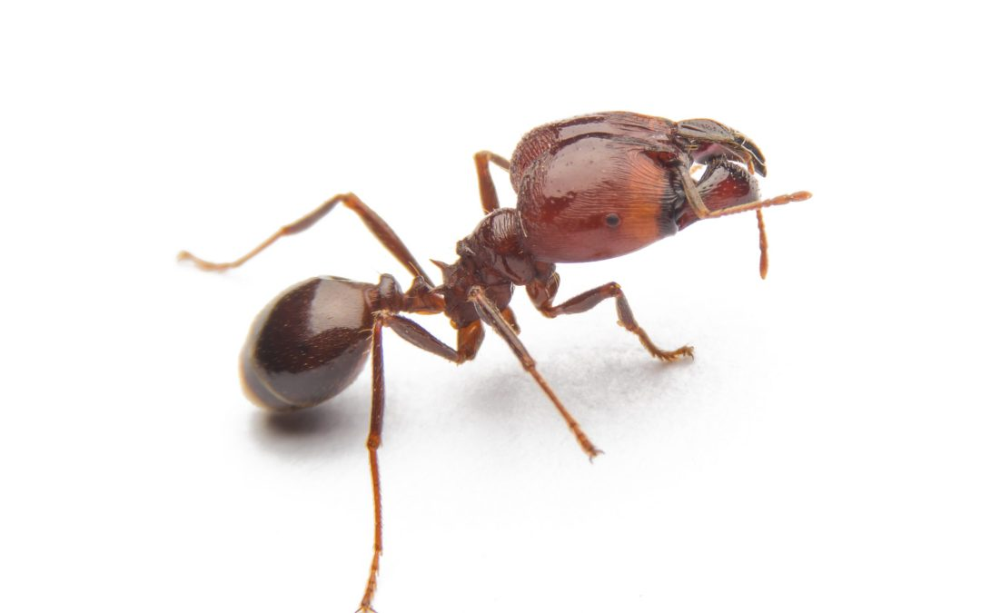 Is it safe to eat ants?