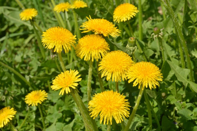 yellow-Dandelions