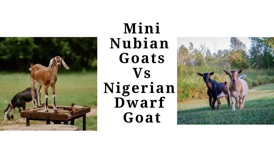 Mini Nubian Vs Nigerian Dwarf Goats-Which One To Choose?