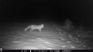 fox night Dubois WY