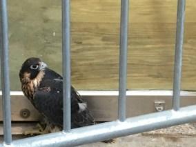 hawk behind barricade