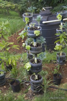 Using plastic gallons to grow lettuce