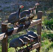 Guard guineas!