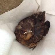 Rescued baby blackbird.