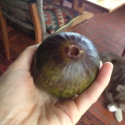 First fig of the season!