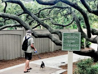 Trees have the right of way on Hilton Head