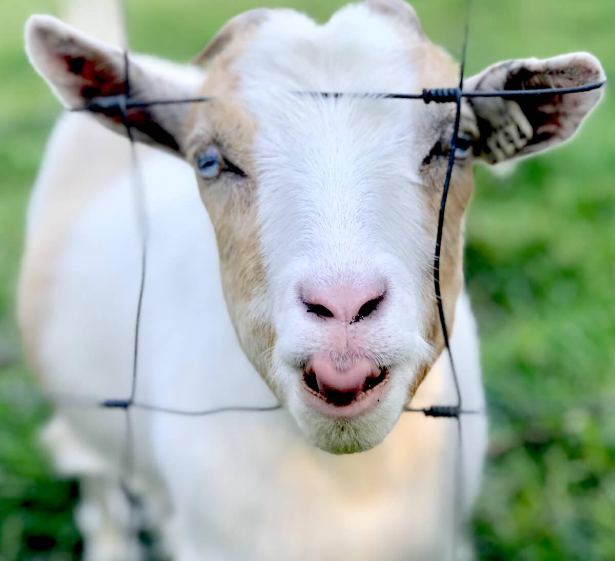 Golden Acres Goat Farm, Monticello, Florida