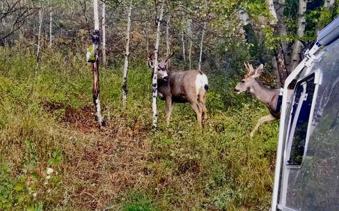 Campsite deer