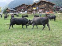 Cow battle