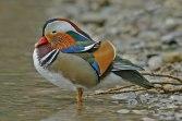 male breeding plumage (© Ruedi Aeschlimann)