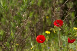 Poppies on the Via Verde