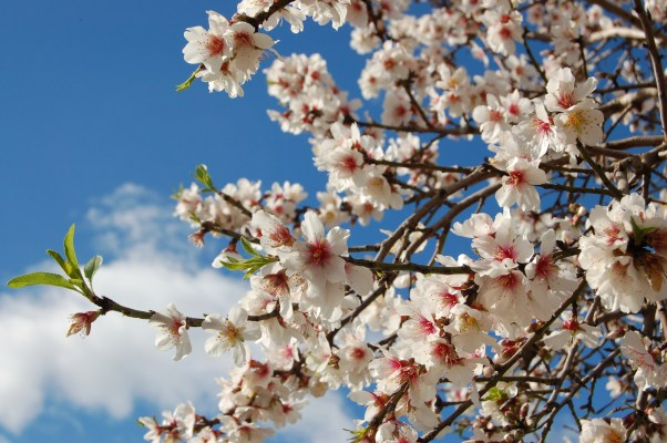 Mallorcan almond blossom