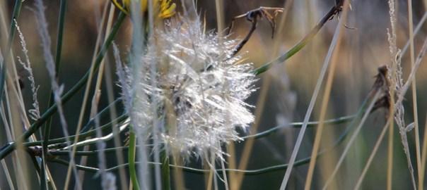 Dandelionweb