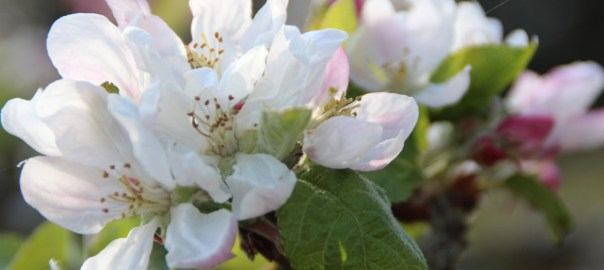 apple-blossom-web