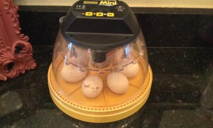 I am Incubating Chicken Eggs!