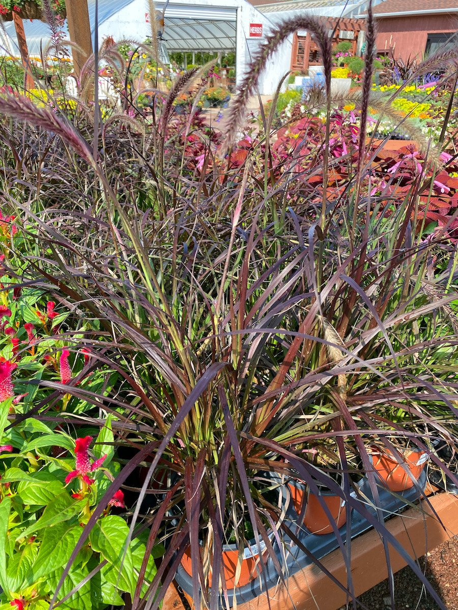 Fall grasses and plants at my local nursery