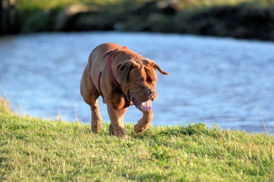 bordeaux-dog