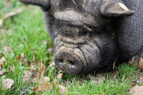 diet, pig,