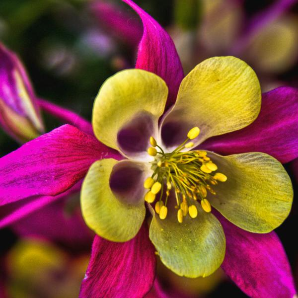 columbine flowers facts and growing tips the spruce - 900×900