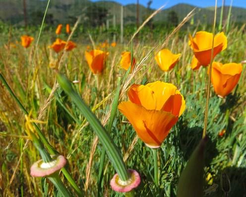 poppy.bernardus