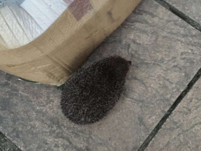 hedgehog, #30dayswild, The Wildlife Trusts, #livinglifewild, 30 days wild, wildlife, british wildlife, hedgehog sighting, garden, urban wildlife, nature, childhood unplugged, freedom to learn, home education, get outside