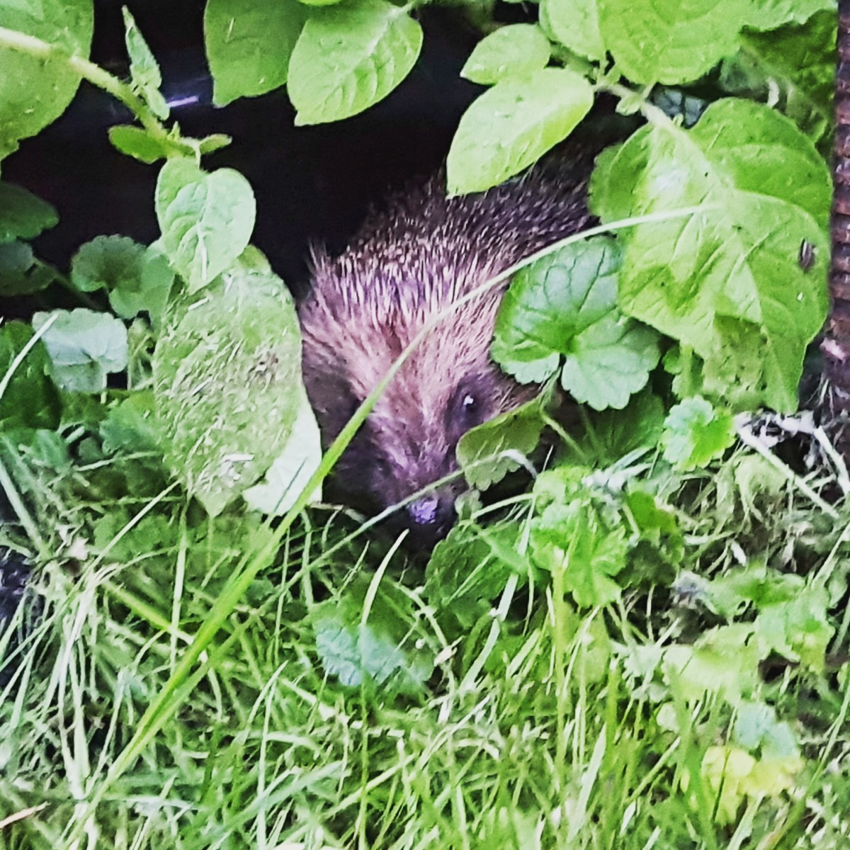 Wildlife in Our Garden: Hedgehog Sighting