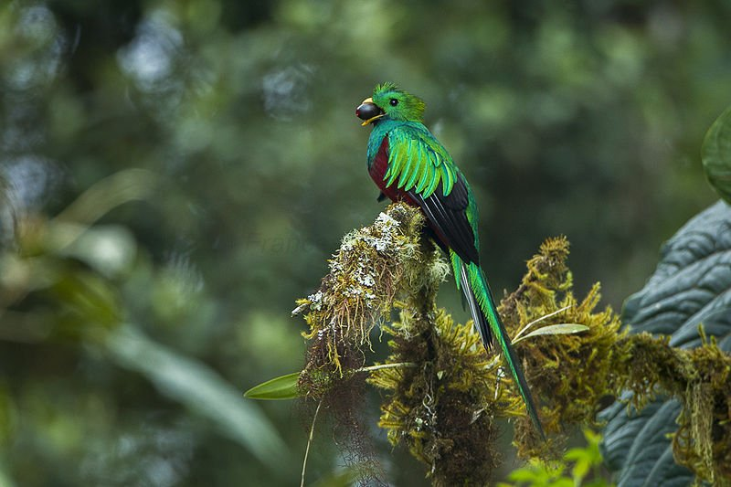 One of the beautiful birds that can be spotted in Costa Rica rainforests.