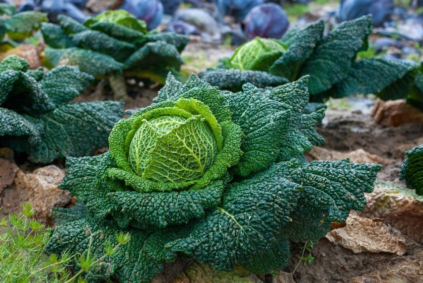Delicious looking cabbages growing in the soil