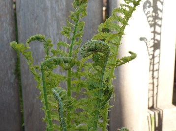 The ferns came up too. Their stems make the coolest shapes as they unfurl.