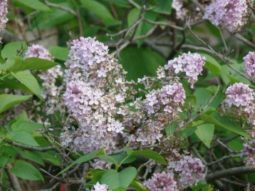 The lilacs in the back corner were blooming beautifully, their aroma perfuming the air.