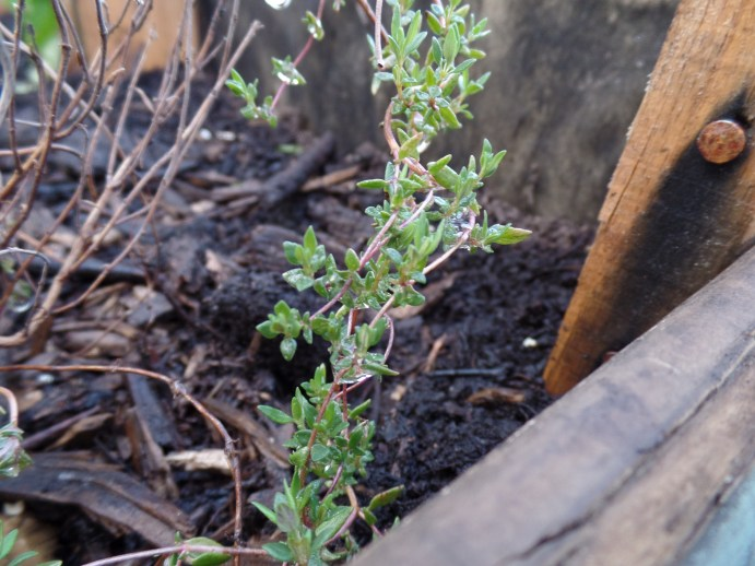 Any my thyme that I first planted last year, which survived Slug-pocolypse 2015 and the indoor plague, is now being given the chance to root deep down and reestablish itself.