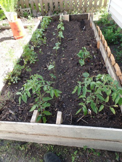 Here's the garden yesterday. The bush beans just popped up one day.