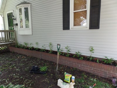 I planted brown-eyed susands (tall back row) and big-leafed asters (short front row).