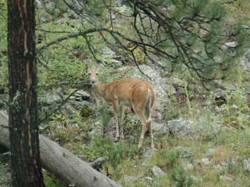 Fawn's momma at Custer State Park.