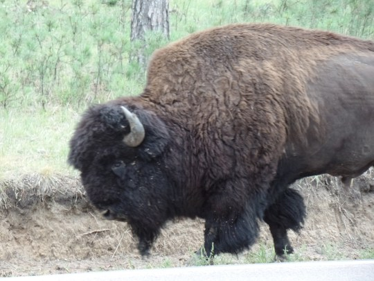 Finally, we spotted a buffalo on the side of the road after leaving the wildlife loop. The cars were all slowing down and Kyle was frustrated by the hold up... until he discovered its source!