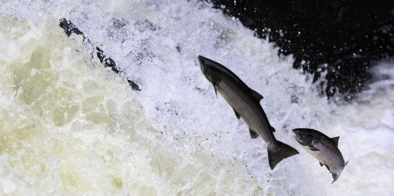 The World's First GMO Salmon is Coming to America