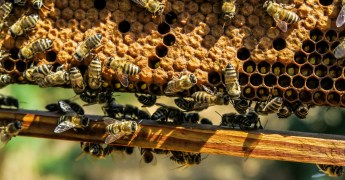 Honey bees producing non-GMO Project Verified honey