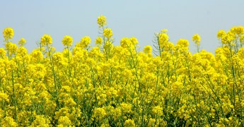 canola plants