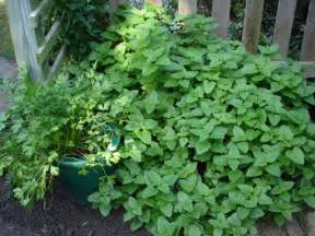 Growing Mint Seeds In Your Garden
