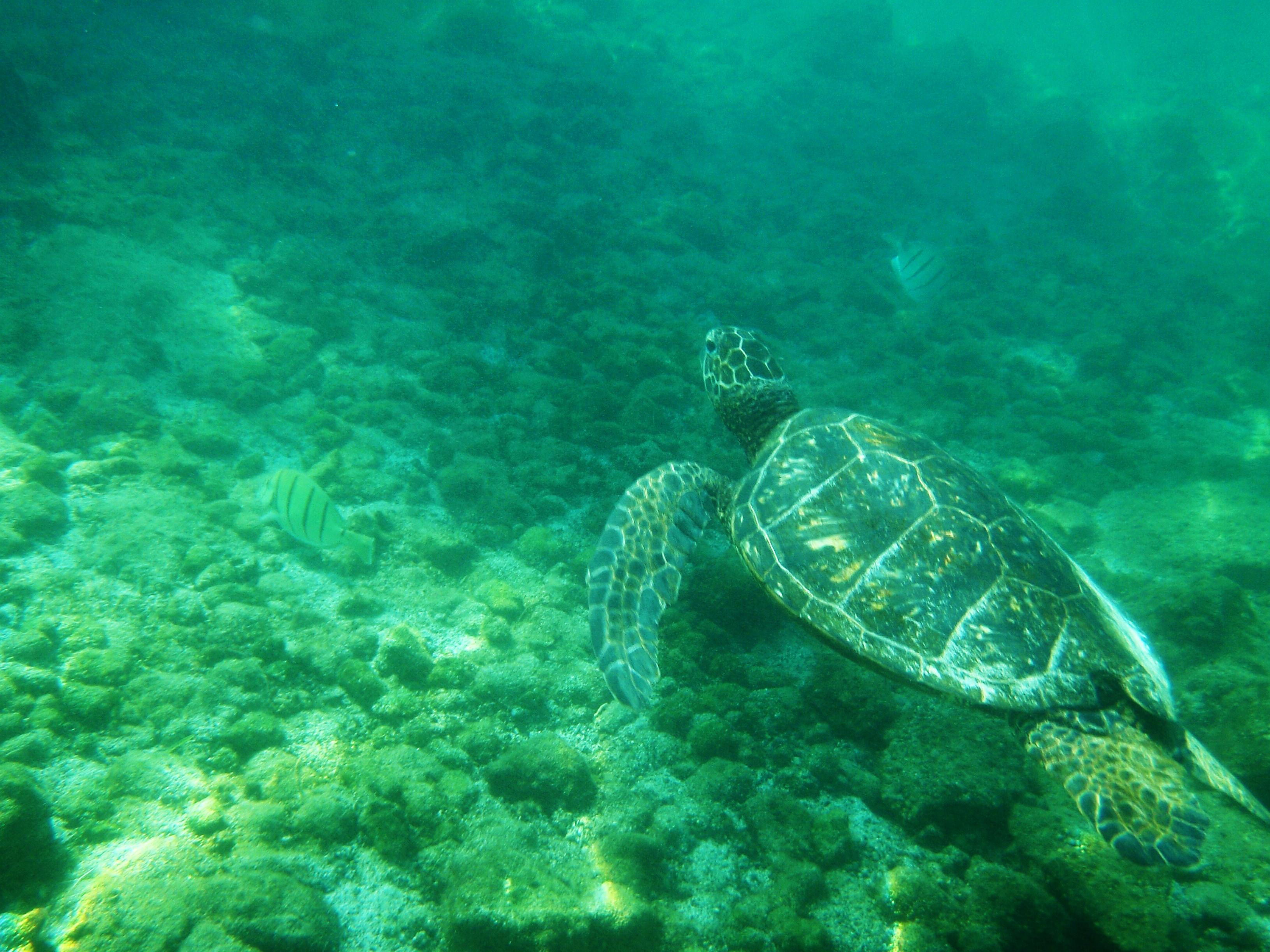 green sea turtle snorkel