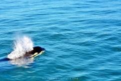 orca breathing 2