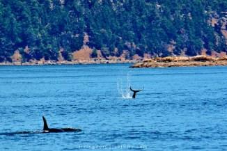 orca tail slap