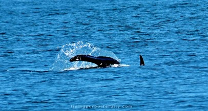 orca tail