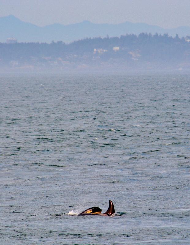 orcas at Lime Kiln