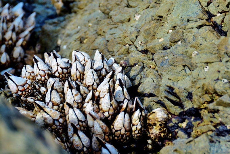 tidepool gooseneck barnacles